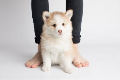 puppy170 week7 BowTiePomsky.com Bowtie Pomsky Puppy For Sale Husky Pomeranian Mini Dog Spokane WA Breeder Blue Eyes Pomskies Celebrity Puppy web7