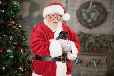 puppy171 week3 BowTiePomsky.com Bowtie Pomsky Puppy For Sale Husky Pomeranian Mini Dog Spokane WA Breeder Blue Eyes Pomskies Celebrity Puppy web7