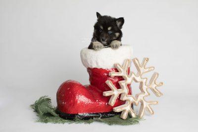 puppy171 week5 BowTiePomsky.com Bowtie Pomsky Puppy For Sale Husky Pomeranian Mini Dog Spokane WA Breeder Blue Eyes Pomskies Celebrity Puppy web2