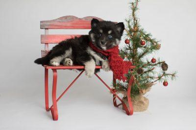 puppy171 week5 BowTiePomsky.com Bowtie Pomsky Puppy For Sale Husky Pomeranian Mini Dog Spokane WA Breeder Blue Eyes Pomskies Celebrity Puppy web4