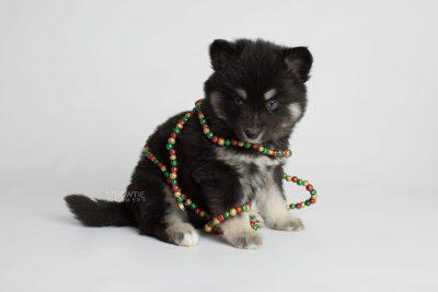 puppy171 week5 BowTiePomsky.com Bowtie Pomsky Puppy For Sale Husky Pomeranian Mini Dog Spokane WA Breeder Blue Eyes Pomskies Celebrity Puppy web6