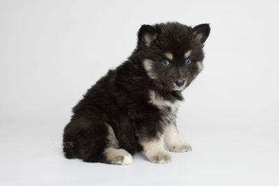 puppy171 week5 BowTiePomsky.com Bowtie Pomsky Puppy For Sale Husky Pomeranian Mini Dog Spokane WA Breeder Blue Eyes Pomskies Celebrity Puppy web7