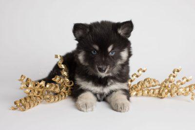 puppy171 week7 BowTiePomsky.com Bowtie Pomsky Puppy For Sale Husky Pomeranian Mini Dog Spokane WA Breeder Blue Eyes Pomskies Celebrity Puppy web2