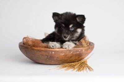 puppy171 week7 BowTiePomsky.com Bowtie Pomsky Puppy For Sale Husky Pomeranian Mini Dog Spokane WA Breeder Blue Eyes Pomskies Celebrity Puppy web4