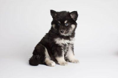 puppy171 week7 BowTiePomsky.com Bowtie Pomsky Puppy For Sale Husky Pomeranian Mini Dog Spokane WA Breeder Blue Eyes Pomskies Celebrity Puppy web6