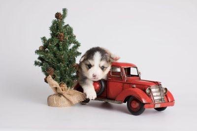 puppy172 week3 BowTiePomsky.com Bowtie Pomsky Puppy For Sale Husky Pomeranian Mini Dog Spokane WA Breeder Blue Eyes Pomskies Celebrity Puppy web2