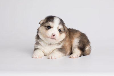 puppy172 week3 BowTiePomsky.com Bowtie Pomsky Puppy For Sale Husky Pomeranian Mini Dog Spokane WA Breeder Blue Eyes Pomskies Celebrity Puppy web7