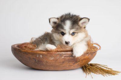 puppy172 week7 BowTiePomsky.com Bowtie Pomsky Puppy For Sale Husky Pomeranian Mini Dog Spokane WA Breeder Blue Eyes Pomskies Celebrity Puppy web6