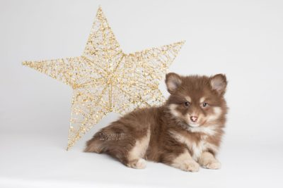 puppy173 week7 BowTiePomsky.com Bowtie Pomsky Puppy For Sale Husky Pomeranian Mini Dog Spokane WA Breeder Blue Eyes Pomskies Celebrity Puppy web1