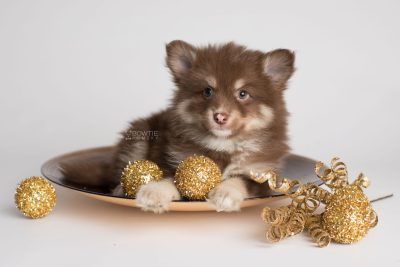 puppy173 week7 BowTiePomsky.com Bowtie Pomsky Puppy For Sale Husky Pomeranian Mini Dog Spokane WA Breeder Blue Eyes Pomskies Celebrity Puppy web4