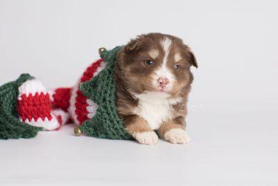 puppy174 week3 BowTiePomsky.com Bowtie Pomsky Puppy For Sale Husky Pomeranian Mini Dog Spokane WA Breeder Blue Eyes Pomskies Celebrity Puppy web5