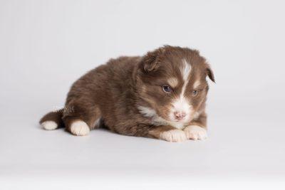 puppy174 week3 BowTiePomsky.com Bowtie Pomsky Puppy For Sale Husky Pomeranian Mini Dog Spokane WA Breeder Blue Eyes Pomskies Celebrity Puppy web6