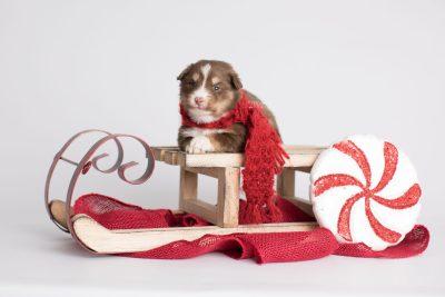 puppy174 week3 BowTiePomsky.com Bowtie Pomsky Puppy For Sale Husky Pomeranian Mini Dog Spokane WA Breeder Blue Eyes Pomskies Celebrity Puppy web7