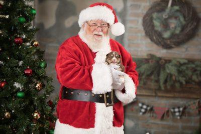 puppy174 week3 BowTiePomsky.com Bowtie Pomsky Puppy For Sale Husky Pomeranian Mini Dog Spokane WA Breeder Blue Eyes Pomskies Celebrity Puppy web9