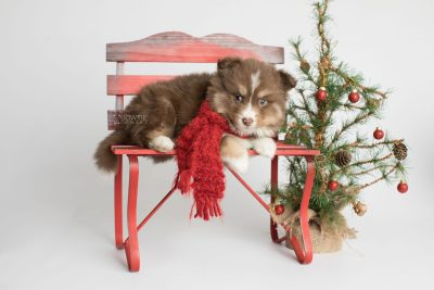 puppy174 week5 BowTiePomsky.com Bowtie Pomsky Puppy For Sale Husky Pomeranian Mini Dog Spokane WA Breeder Blue Eyes Pomskies Celebrity Puppy web3