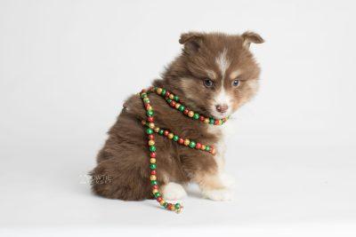 puppy174 week5 BowTiePomsky.com Bowtie Pomsky Puppy For Sale Husky Pomeranian Mini Dog Spokane WA Breeder Blue Eyes Pomskies Celebrity Puppy web5