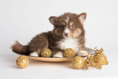 puppy174 week7 BowTiePomsky.com Bowtie Pomsky Puppy For Sale Husky Pomeranian Mini Dog Spokane WA Breeder Blue Eyes Pomskies Celebrity Puppy web4