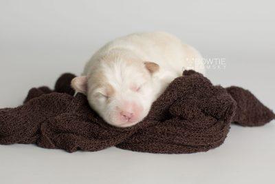 puppy175 week1 BowTiePomsky.com Bowtie Pomsky Puppy For Sale Husky Pomeranian Mini Dog Spokane WA Breeder Blue Eyes Pomskies Celebrity Puppy web5