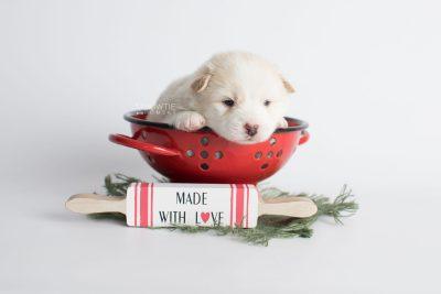 puppy175 week3 BowTiePomsky.com Bowtie Pomsky Puppy For Sale Husky Pomeranian Mini Dog Spokane WA Breeder Blue Eyes Pomskies Celebrity Puppy web1