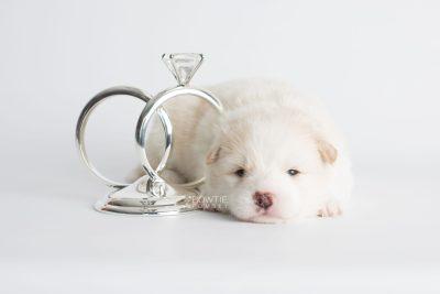 puppy175 week3 BowTiePomsky.com Bowtie Pomsky Puppy For Sale Husky Pomeranian Mini Dog Spokane WA Breeder Blue Eyes Pomskies Celebrity Puppy web4