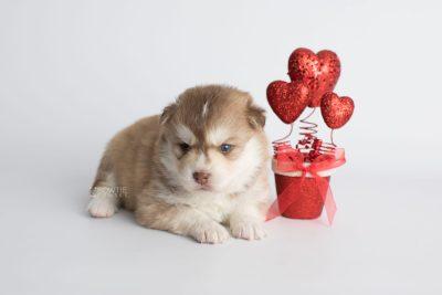 puppy176 week3 BowTiePomsky.com Bowtie Pomsky Puppy For Sale Husky Pomeranian Mini Dog Spokane WA Breeder Blue Eyes Pomskies Celebrity Puppy web5