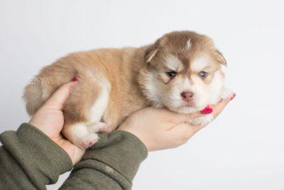 puppy176 week3 BowTiePomsky.com Bowtie Pomsky Puppy For Sale Husky Pomeranian Mini Dog Spokane WA Breeder Blue Eyes Pomskies Celebrity Puppy web8