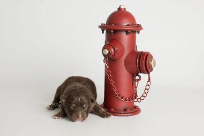 puppy177 week1 BowTiePomsky.com Bowtie Pomsky Puppy For Sale Husky Pomeranian Mini Dog Spokane WA Breeder Blue Eyes Pomskies Celebrity Puppy web2