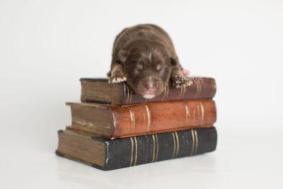 puppy177 week1 BowTiePomsky.com Bowtie Pomsky Puppy For Sale Husky Pomeranian Mini Dog Spokane WA Breeder Blue Eyes Pomskies Celebrity Puppy web4