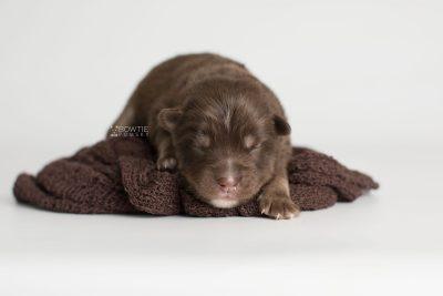 puppy177 week1 BowTiePomsky.com Bowtie Pomsky Puppy For Sale Husky Pomeranian Mini Dog Spokane WA Breeder Blue Eyes Pomskies Celebrity Puppy web5