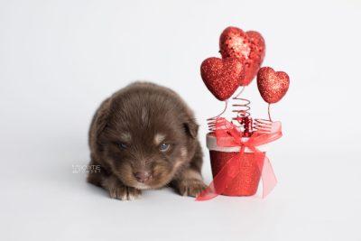 puppy177 week3 BowTiePomsky.com Bowtie Pomsky Puppy For Sale Husky Pomeranian Mini Dog Spokane WA Breeder Blue Eyes Pomskies Celebrity Puppy web2