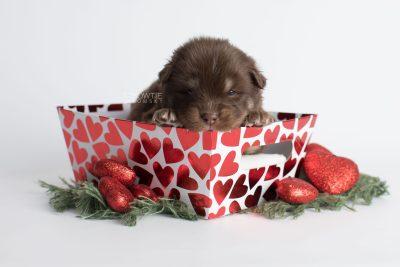 puppy177 week3 BowTiePomsky.com Bowtie Pomsky Puppy For Sale Husky Pomeranian Mini Dog Spokane WA Breeder Blue Eyes Pomskies Celebrity Puppy web7