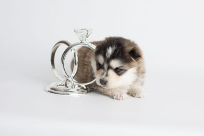 puppy178 week3 BowTiePomsky.com Bowtie Pomsky Puppy For Sale Husky Pomeranian Mini Dog Spokane WA Breeder Blue Eyes Pomskies Celebrity Puppy web4