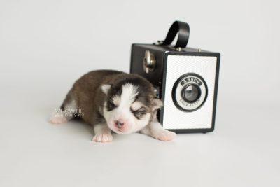 puppy179 week1 BowTiePomsky.com Bowtie Pomsky Puppy For Sale Husky Pomeranian Mini Dog Spokane WA Breeder Blue Eyes Pomskies Celebrity Puppy web6