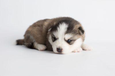 puppy179 week3 BowTiePomsky.com Bowtie Pomsky Puppy For Sale Husky Pomeranian Mini Dog Spokane WA Breeder Blue Eyes Pomskies Celebrity Puppy web7
