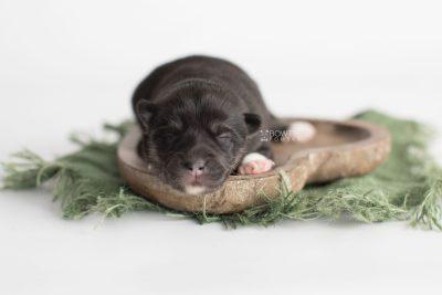 puppy183 week1 BowTiePomsky.com Bowtie Pomsky Puppy For Sale Husky Pomeranian Mini Dog Spokane WA Breeder Blue Eyes Pomskies Celebrity Puppy web5