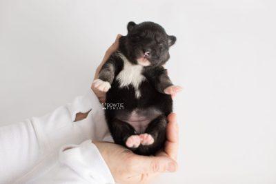 puppy185 week1 BowTiePomsky.com Bowtie Pomsky Puppy For Sale Husky Pomeranian Mini Dog Spokane WA Breeder Blue Eyes Pomskies Celebrity Puppy web9