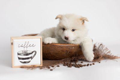 puppy175 week5 BowTiePomsky.com Bowtie Pomsky Puppy For Sale Husky Pomeranian Mini Dog Spokane WA Breeder Blue Eyes Pomskies Celebrity Puppy web5