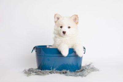 puppy175 week7 BowTiePomsky.com Bowtie Pomsky Puppy For Sale Husky Pomeranian Mini Dog Spokane WA Breeder Blue Eyes Pomskies Celebrity Puppy web2