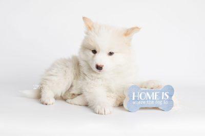 puppy175 week7 BowTiePomsky.com Bowtie Pomsky Puppy For Sale Husky Pomeranian Mini Dog Spokane WA Breeder Blue Eyes Pomskies Celebrity Puppy web3