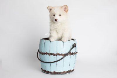 puppy175 week7 BowTiePomsky.com Bowtie Pomsky Puppy For Sale Husky Pomeranian Mini Dog Spokane WA Breeder Blue Eyes Pomskies Celebrity Puppy web6