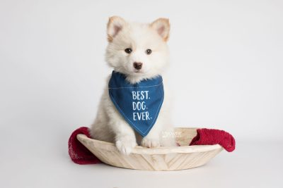 puppy175 week7 BowTiePomsky.com Bowtie Pomsky Puppy For Sale Husky Pomeranian Mini Dog Spokane WA Breeder Blue Eyes Pomskies Celebrity Puppy web7
