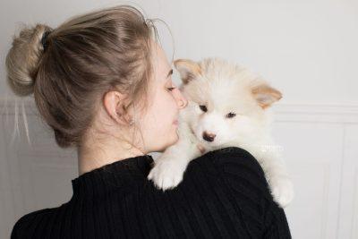 puppy175 week7 BowTiePomsky.com Bowtie Pomsky Puppy For Sale Husky Pomeranian Mini Dog Spokane WA Breeder Blue Eyes Pomskies Celebrity Puppy web8