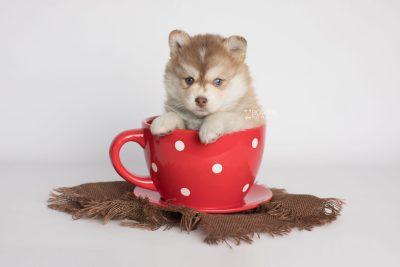 puppy176 week5 BowTiePomsky.com Bowtie Pomsky Puppy For Sale Husky Pomeranian Mini Dog Spokane WA Breeder Blue Eyes Pomskies Celebrity Puppy web1