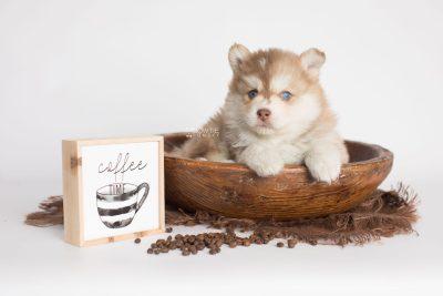 puppy176 week5 BowTiePomsky.com Bowtie Pomsky Puppy For Sale Husky Pomeranian Mini Dog Spokane WA Breeder Blue Eyes Pomskies Celebrity Puppy web4