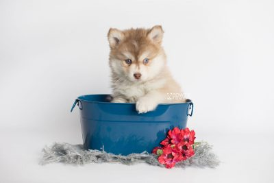 puppy176 week7 BowTiePomsky.com Bowtie Pomsky Puppy For Sale Husky Pomeranian Mini Dog Spokane WA Breeder Blue Eyes Pomskies Celebrity Puppy web1