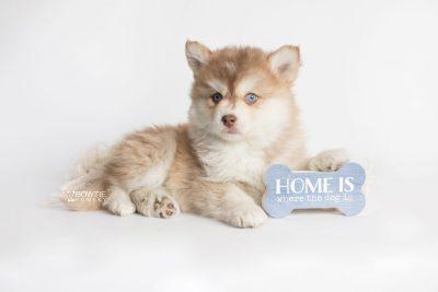 puppy176 week7 BowTiePomsky.com Bowtie Pomsky Puppy For Sale Husky Pomeranian Mini Dog Spokane WA Breeder Blue Eyes Pomskies Celebrity Puppy web2