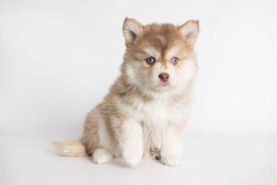 puppy176 week7 BowTiePomsky.com Bowtie Pomsky Puppy For Sale Husky Pomeranian Mini Dog Spokane WA Breeder Blue Eyes Pomskies Celebrity Puppy web4
