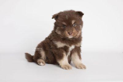 puppy177 week5 BowTiePomsky.com Bowtie Pomsky Puppy For Sale Husky Pomeranian Mini Dog Spokane WA Breeder Blue Eyes Pomskies Celebrity Puppy web3