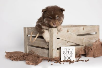 puppy177 week5 BowTiePomsky.com Bowtie Pomsky Puppy For Sale Husky Pomeranian Mini Dog Spokane WA Breeder Blue Eyes Pomskies Celebrity Puppy web4
