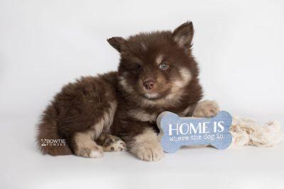 puppy177 week7 BowTiePomsky.com Bowtie Pomsky Puppy For Sale Husky Pomeranian Mini Dog Spokane WA Breeder Blue Eyes Pomskies Celebrity Puppy web2